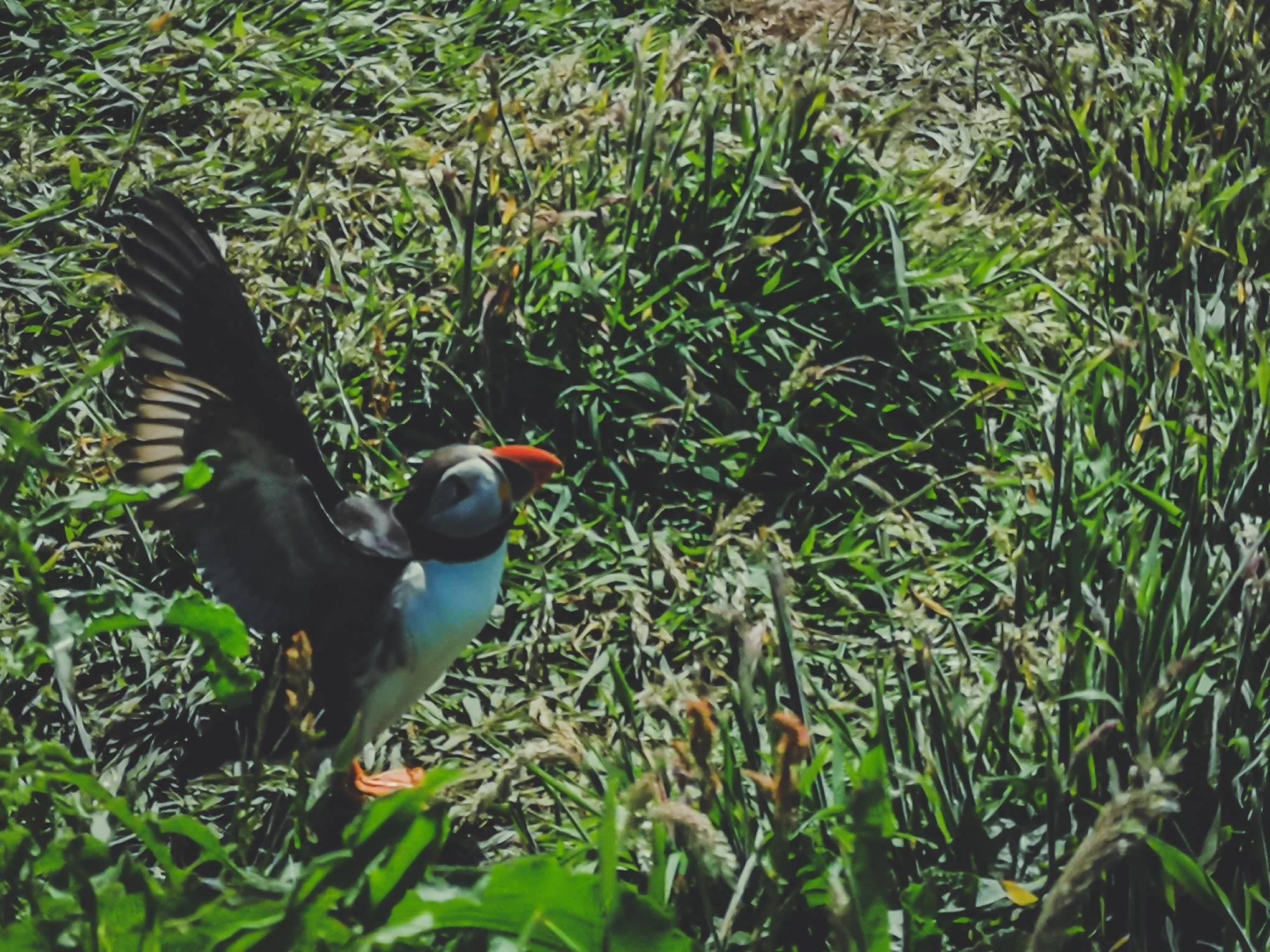 Puffin on Staffa island, Hebrides, Scotland