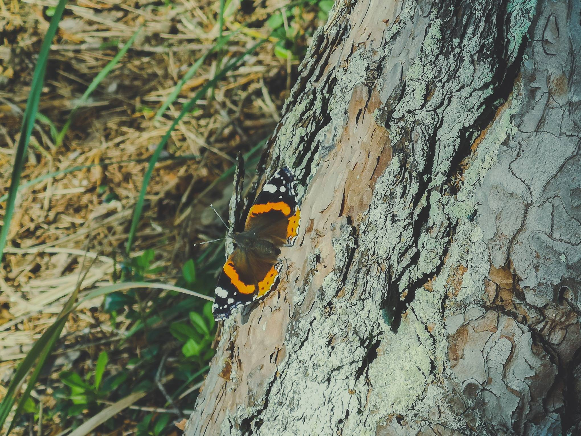 Red Admiral in Labanoras Regional Park, Lithuania. Photo Alis Monte [CC BY-SA 4.0], via Connecting the Dots